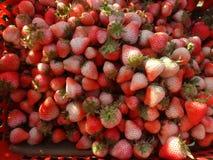 Heel wat jonge Aardbei in de mand bij aardbeilandbouwbedrijf Openlucht foto fruit Stock Foto's