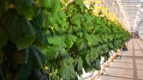 Heel wat komkommerinstallaties die in serre groeien stock video