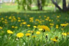 Heel wat levendige gele paardebloemen Royalty-vrije Stock Afbeeldingen