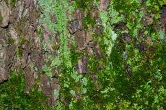 Heel wat lichtgroen korstmos en donkergroen mos op een bruine schors van een boomtextuur stock afbeeldingen