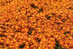 Heel wat mooie chrysanten op Bush in de herfst Royalty-vrije Stock Foto