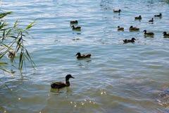 Heel wat platyrhynchos wilde eenden die van wilde eendenana samen in het meer zwemmen - Beeld stock fotografie