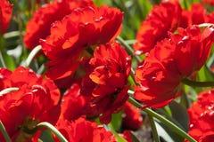 Heel wat rode pioenen Stock Afbeeldingen
