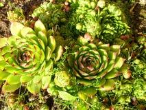 Heel wat succulent in de grond Stock Foto's