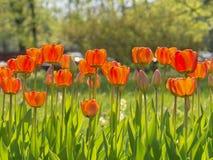 Heel wat Tulpenbloemen Stock Foto