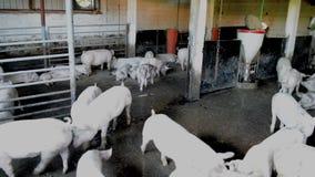 Heel wat witte varkens in a hogpen in Sheepfold Veepen stock videobeelden