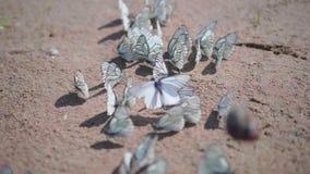 Heel wat witte vlinders die op het zand zitten, de vlinder is het koolwitje stock videobeelden