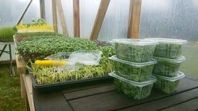 Heel wat zaailingen voor landbouw die het spruitstadium hebben overgegaan en hun eerste zaad gekweekt gaat weg royalty-vrije stock afbeeldingen