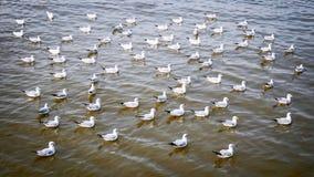 Heel wat Zeemeeuwen die op het Overzees drijven die aan het Recht kijken stock foto's