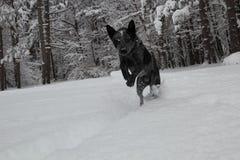 Heeler azul que corre en nieve Fotos de archivo