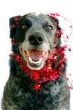 Heeler bleu heureux dans la guirlande rouge d'étoile Photos stock