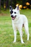 Heeler bleu ou chien australien de bétail Photographie stock