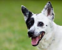 Heeler bleu ou chien australien de bétail avec l'espace pour la copie Image stock