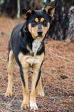 Heeler Cattledog trakenu baca mieszający pies zdjęcie stock