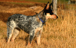 Heeler Pup 20 Stock Photos