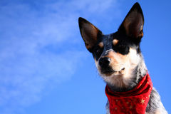 Heeler Pup 27 Stock Photography