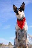 Heeler Pup 29 Stock Image