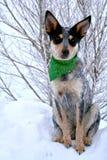 Heeler Pup 37 Royalty Free Stock Images