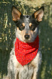 Heeler Pup 39 Royalty Free Stock Photo