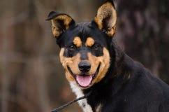 Heeler trakenu Cattledog mieszający pies obrazy royalty free