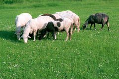 Heep Grazing on a green Field. A Big Sheep Grazing on a green Field Royalty Free Stock Images