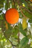 Heerlijk enig oranje fruit op boom royalty-vrije stock foto