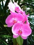 Heerlijk roze Royalty-vrije Stock Fotografie