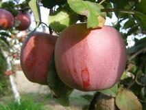 Heerlijke appelen Royalty-vrije Stock Afbeeldingen