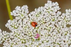 Heerlijke Bloei van Koninginanne Kant met een Uiterst klein Lieveheersbeestje Stock Fotografie