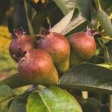 Heerlijke peren die dichte mening kweken stock afbeeldingen