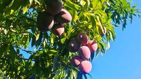 Heerlijke verse mango's op het boom en hemelblauw stock foto
