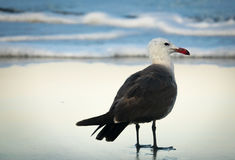Heerman`s Sea Gull On Beach at Sunrise. Heerman`s Seagull on California Beach Stock Photos