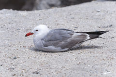 Heermann's gull, larus heermanni Stock Photography