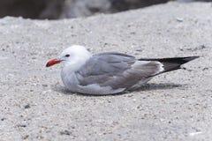Heermann's gull, larus heermanni Stock Photography
