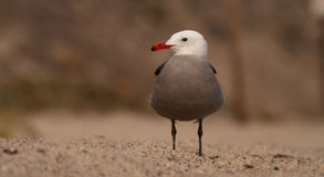Heermann's Gull Royalty Free Stock Photo