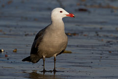 Heermann's Gull (Larus heermanni) Royalty Free Stock Images