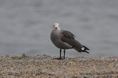 Heermann's Gull (Larus heermanni) Royalty Free Stock Photography
