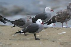 Heermann's Gull (Larus heermanni) Stock Photos