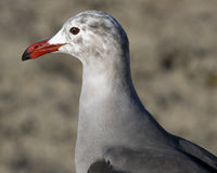 Heermann's Gull with red beak. Closeup of head and neck of Heermann's Gull showing details of feathers and red beak. Photographed in San Diego county, Carlsbad Stock Photos