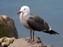 Heermann`s Gull on a Rock Stock Photos