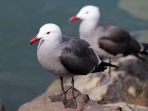 Free Heermann`s Gulls - Larus Heermanni Royalty Free Stock Photo - 108115085