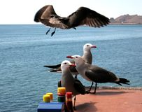 Heermann`s Gulls Wonder What`s for Lunch Royalty Free Stock Photo