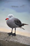 Heermann's seagull  gull adult Royalty Free Stock Photo