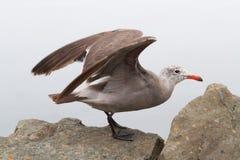Heermanns鸥(鸥属heermanni)由海洋 库存图片
