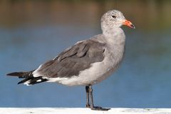 Heermanns Gull (Larus heermanni) By The Ocean Royalty Free Stock Images