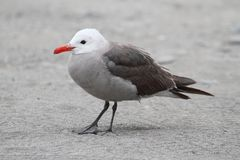Heermanns Gull (Larus heermanni) By The Ocean Royalty Free Stock Image