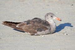 Heermanns Gull (Larus heermanni) By The Ocean Royalty Free Stock Image