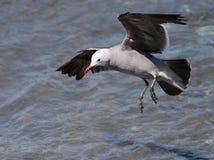 Heermans Gull Landing Stock Photography