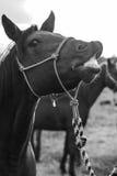 Heey-Pferd lizenzfreies stockfoto