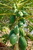 Hefboom-fruit op de boom Royalty-vrije Stock Fotografie